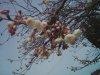 20090307_sakura