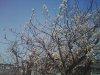 20090312_sakura02
