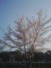 20090407_sakura