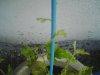 20090615_asagao02