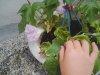 20090620_asagao01