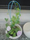 20090621_asagao02