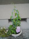 20090623_asagao