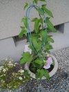 20090624_asagao