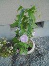 20090625_asagao01