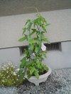 20090626_asagao01_2