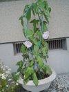20090627_asagao