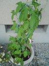 20090628_asagao