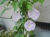 20090630_asagao