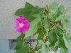 20090714_asagao02