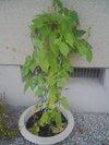 20090719_asagao01
