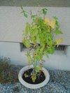 20090802_asagao01