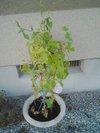 20090804_asagao