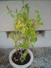 20090805_asagao