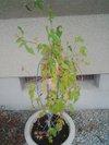 20090808_asagao