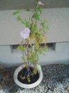 20090811_asagao
