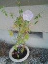20090812_asagao1