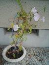 20090814_asagao