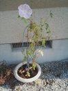 20090818_asagao
