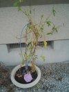 20090821_asagao1