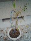 20090823_asagao
